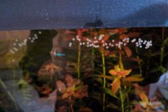 Corydoras sp. - uova- Autore: -scheccia