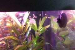 Corydoras sp. - uova - Autore: scheccia
