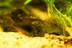 Corydoras aeneus - Autore: dave