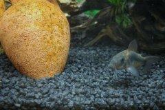 Corydoras aeneus - Autore: fablav