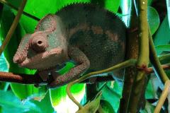 Furcifer pardalis - Autore: Muten