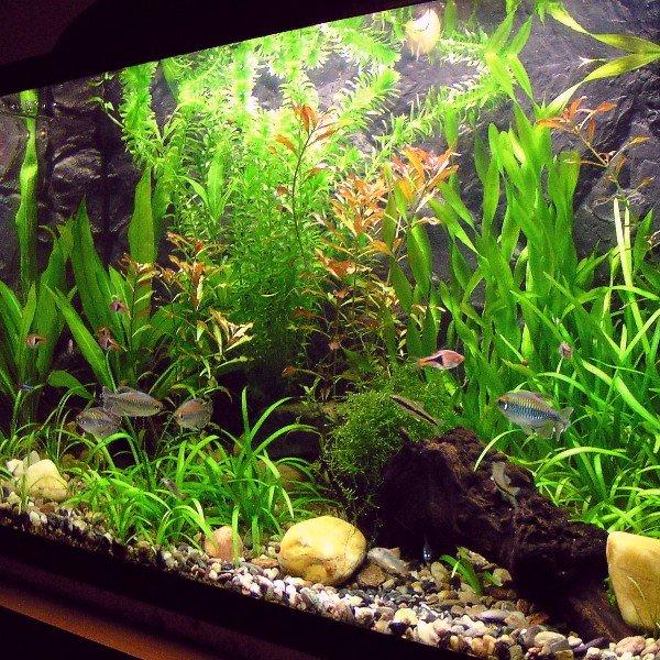 Egeria densa in acquario, dietro ad altre piante