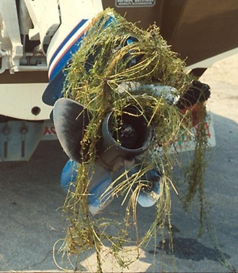 Egeria densa arrotolata sull'elica di un'imbarcazione