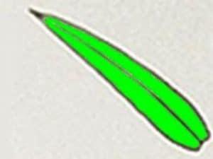 Singola foglia di Egeria densa, non ha il picciòlo