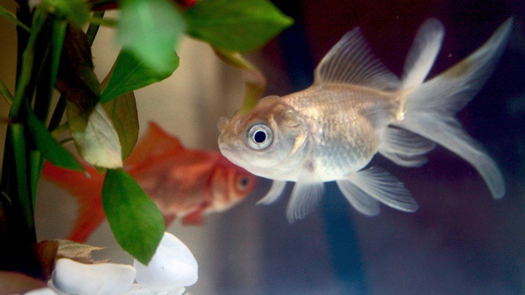 Pesce Rosso ammalato?... Oppure no?