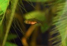 Riproduzione Pesci Rossi in acquario: la mia esperienza
