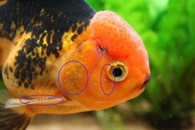 Maschio di pesce rosso con tubercoli nuziali