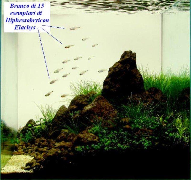 15 hyphessobrycon elachys