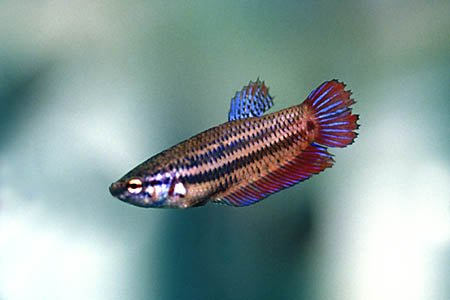 Betta splendens femmina