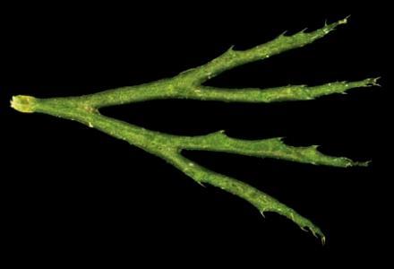 Ceratophyllum demersum foglia