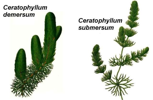 Ceratophyllum demersum submersum