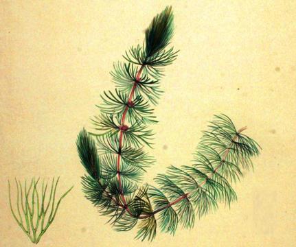 Ceratophyllum submersum 1893