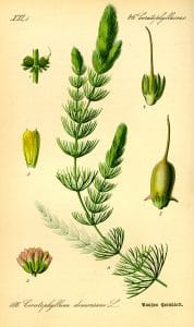 Ceratophyllum demersum 1885