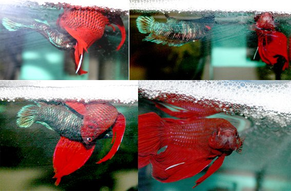 Betta splendens - fasi di accoppiamento