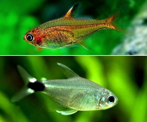 Hyphessobrycon amandae - Hyphessobrycon elachys