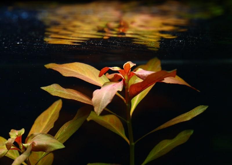 Ludwigia senza alghe filamentose
