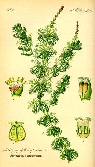 Myriophyllum - Otto Wilhelm - 1885