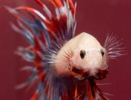 Betta splendens in Parata