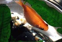 Pesce Rosso con pancia gonfia: Hoferellus carassii