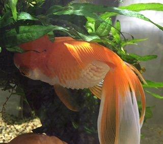 pesce rosso affetto da Hoferellosi