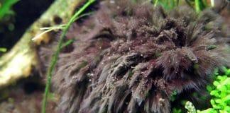 BBA: alghe a pennello in acquario