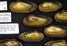 Unio pictorum, filtro naturale in acquario