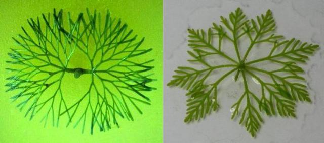 Cabomba e Limnophila