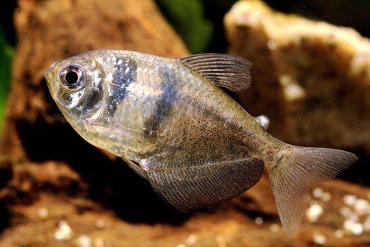 Gymnocorymbus ternetzi, o pesce gonnella