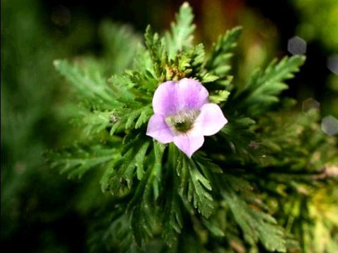 Limnophila heterophylla emersa