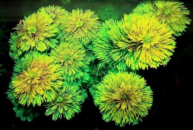 Limnophila Ambulia