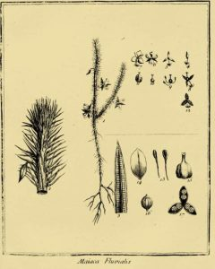 Mayaca fluviatilis 1775