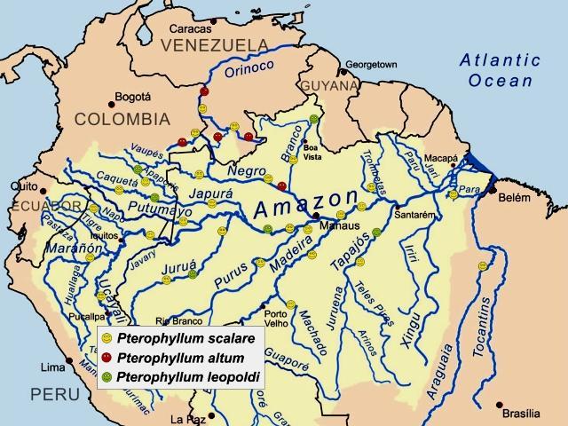 Pterophyllum in Amazzonia