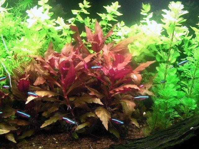 Assenza di filamentose in un acquario con nitrati alti