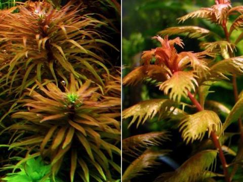 Ludwigia inclinata e Proserpinaca palustris
