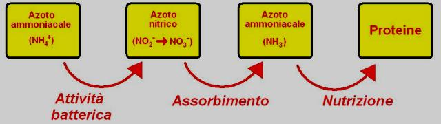 Schema di assimilazione dell'azoto nelle piante