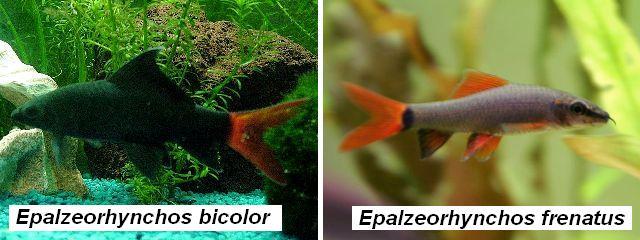 Epalzeorhynchos