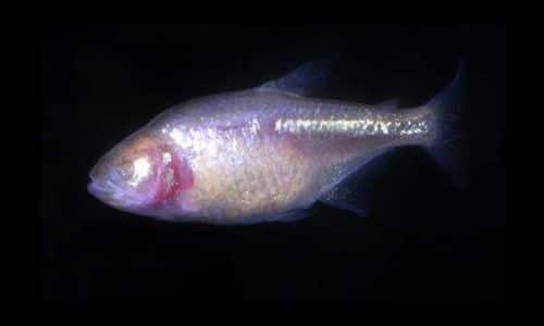 Astyanax jordani - pesce cieco
