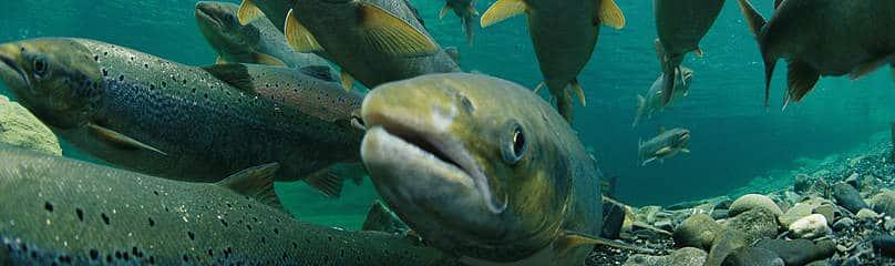 Salmoni che migrano