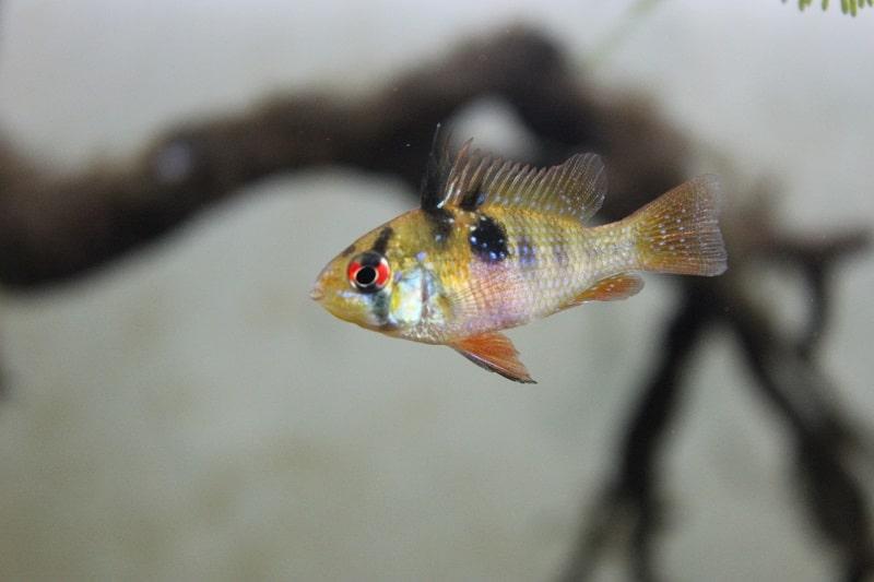 pesce america