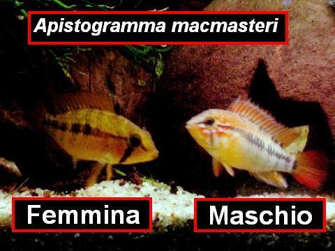 Apistogramma macmasteri