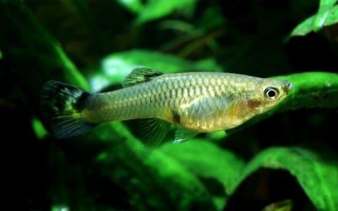 Guppy Poecilia reticulata femmina