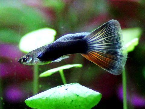Guppy Poecilia reticulata maschio