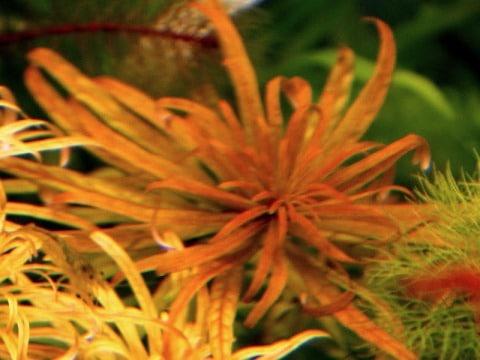 Ludwigia inclinata verticillata