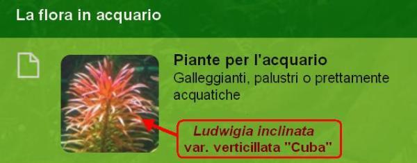 Sezione del forum Ludwigia inclinata verticillata