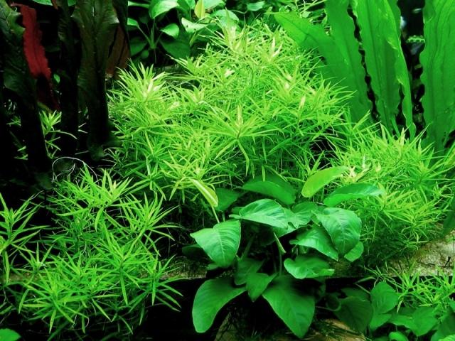 Heteranthera zosterifolia in acquario