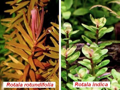 Rotala rotundifolia e indica