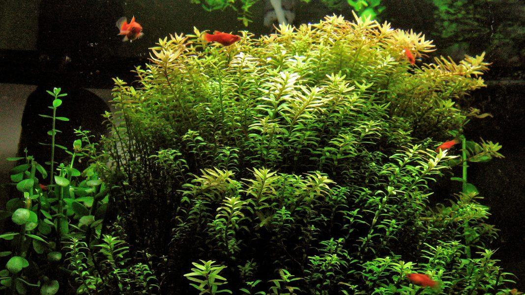Rotala rotundifolia e Rotala indica