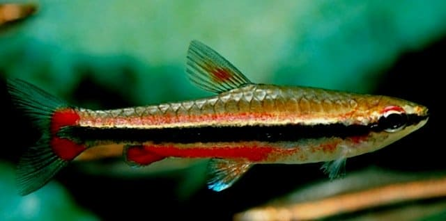 Nannostomus beckfordi maschio