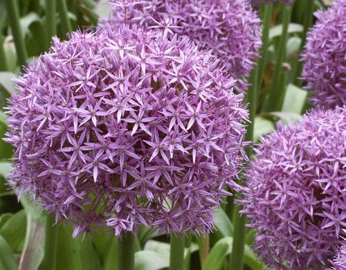 Aglio ornamentale in fiore