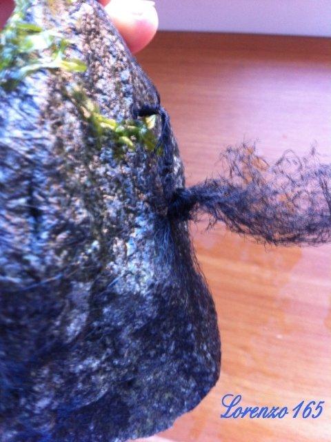 Piante epifite Pellia